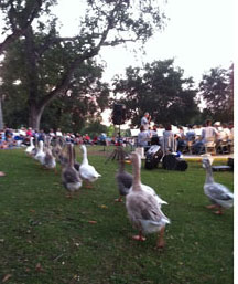 Atascadero Lake Geese March to 'Army of the Nile'